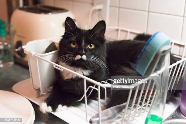 "cat in odd place resting in dish drainer rack. - ""martine doucet"" or martinedoucet stock pictures, royalty-free photos & images"