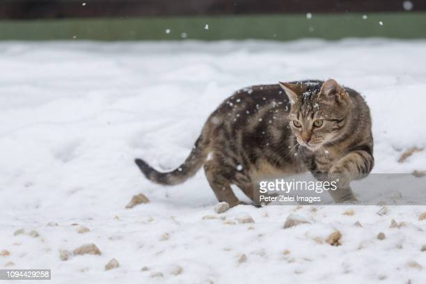 cat in the snow - peter snow stock pictures, royalty-free photos & images