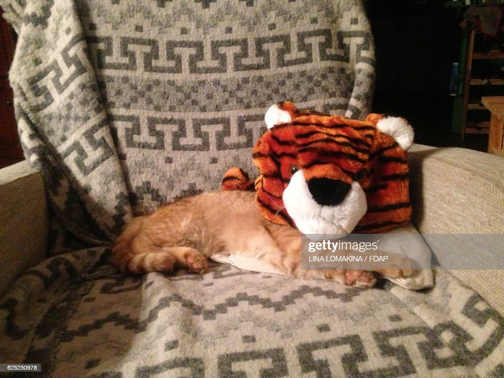 Cat in tiger costume & Tiger Costume Stock Photos and Pictures | Getty Images