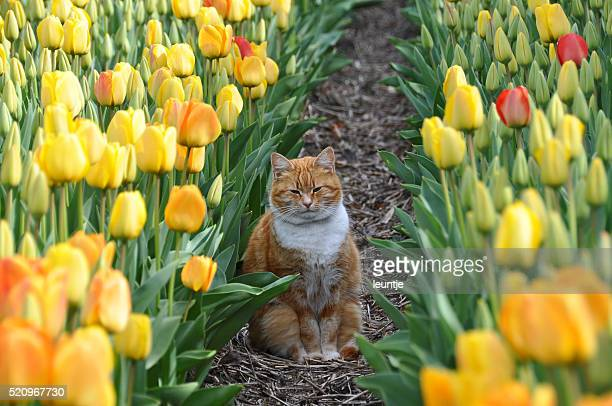 Cat in tulip field