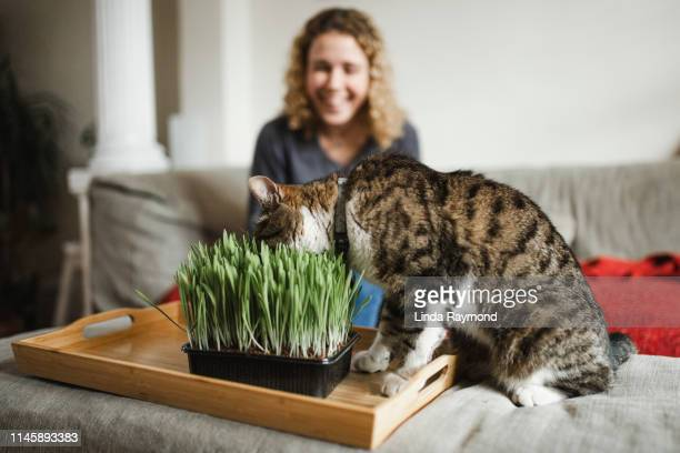 cat is eating fresh green grass - catmint stock pictures, royalty-free photos & images