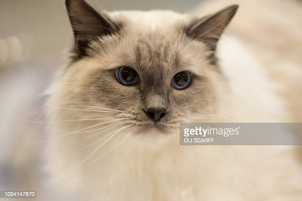 A cat is judged in the 'Longhair Pedigree Pet Imperial Grand Master Cat' class at the 42nd 'Supreme Cat Show' organised by the Governing Council of...