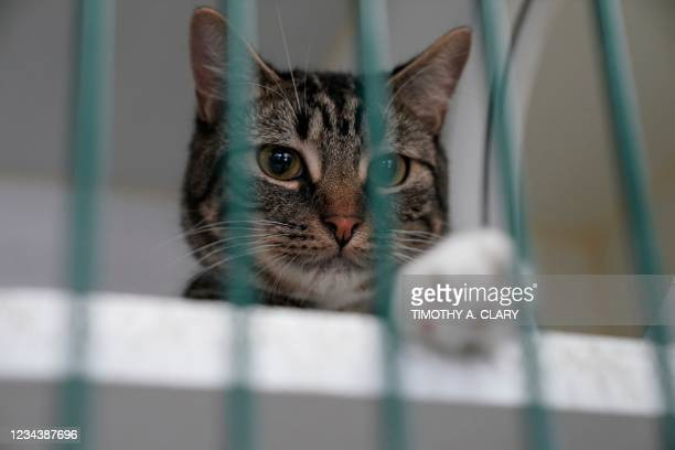 Cat is kenneled at the Animal Care Center of New York on June 25, 2021. - Adopted en masse during the pandemic and spoiled for attention during...