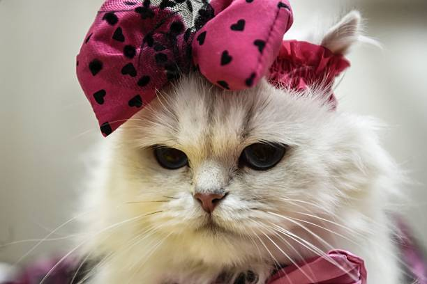 cat-is-pictured-pictured-during-a-world-cats-show-contest-organized-picture-id615011782?k=6&m=615011782&s=612x612&w=0&h=rJ7LzKjtoLjpsj2ac1QXje6NC-MMzmS0KWz1-lfrdng= - Show Posts - islander