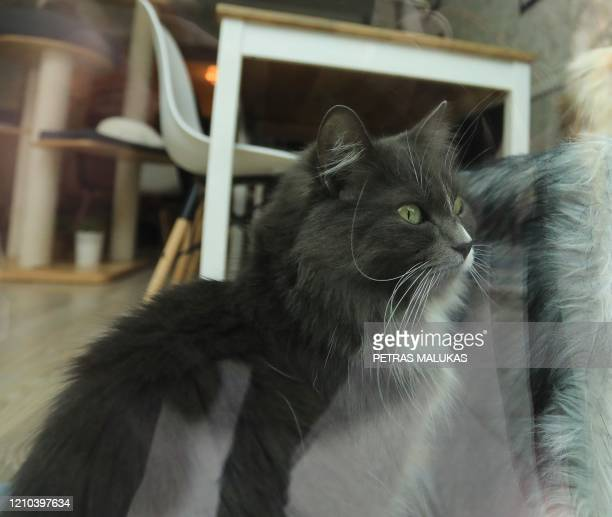 """Cat is pictured through the window of the """"Cat Cafe"""" which remains closed in Vilnius, Lithuania on April 19 amid the new coronavirus COVID-19..."""
