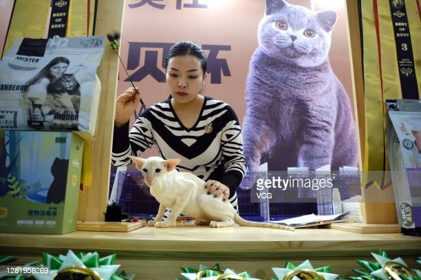 Cat is seen during a cat competition as part of the 5th Northeast Asia Pet Products Exhibition at Liaoning Industrial Exhibition Hall on October 24,...
