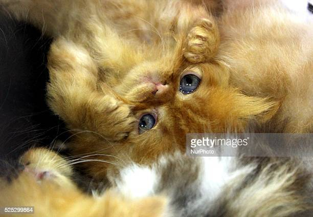 Cat is seen during the annual two-day international cats exhibition in the Bulgarian town of Varna east of the capital Sofia, Saturday, Oct 2015.Cats...