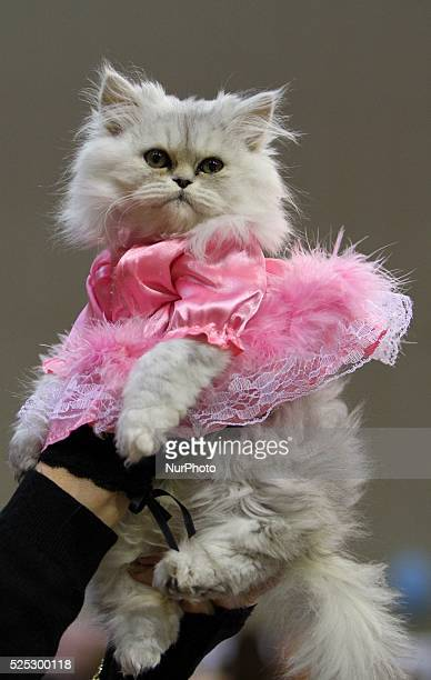 A cat is seen during the annual twoday international cats exhibition in the Bulgarian town of Varna east of the capital Sofia Saturday Oct 2015Cats...