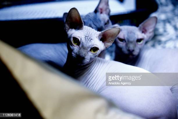 A cat is seen during the International Cat Show Catsburg 2019 exhibition at the Crocus Expo Exhibition Center in Moscow Russia on March 02 2019