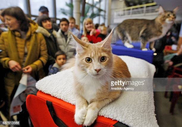 Cat is seen during the International Cat Show in Kiev, Ukraine, on January 28, 2017.The show presents more than 20 breeds of cats, including Kuril...