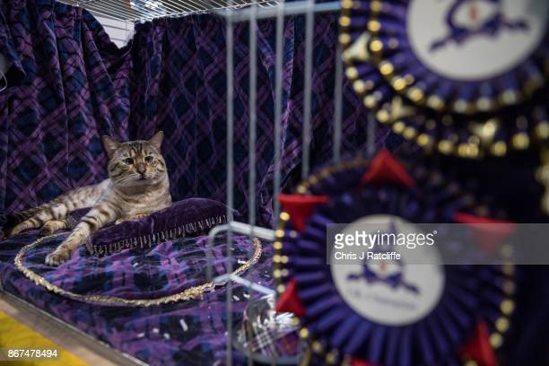 A cat is seen in its cage during the Supreme Cat Show on October 28 2017 in Birmingham England The oneday Supreme Cat Show is one of the largest cat...