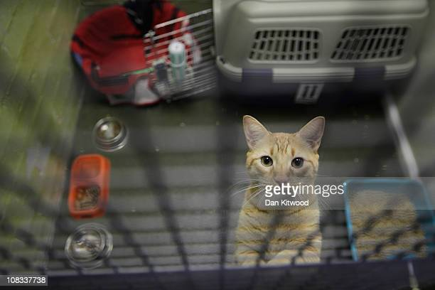 A cat is seen in it's enclosure at Heathrow Airport's Animal Reception Centre on January 25 2011 in London England Many animals pass through the...