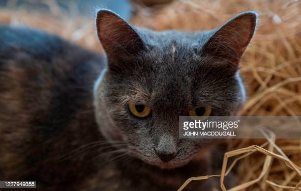 """Cat is seen in its straw bed at a so-called """"Cat Cafe"""" in Berlin on August 7, 2020. - International Cat Day, or World Cat Day, created in 2002 by the..."""