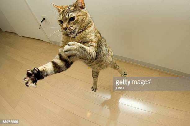 Cat jumbing