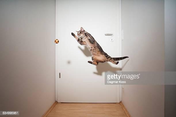 Cat jumping after ball like goalkeeper