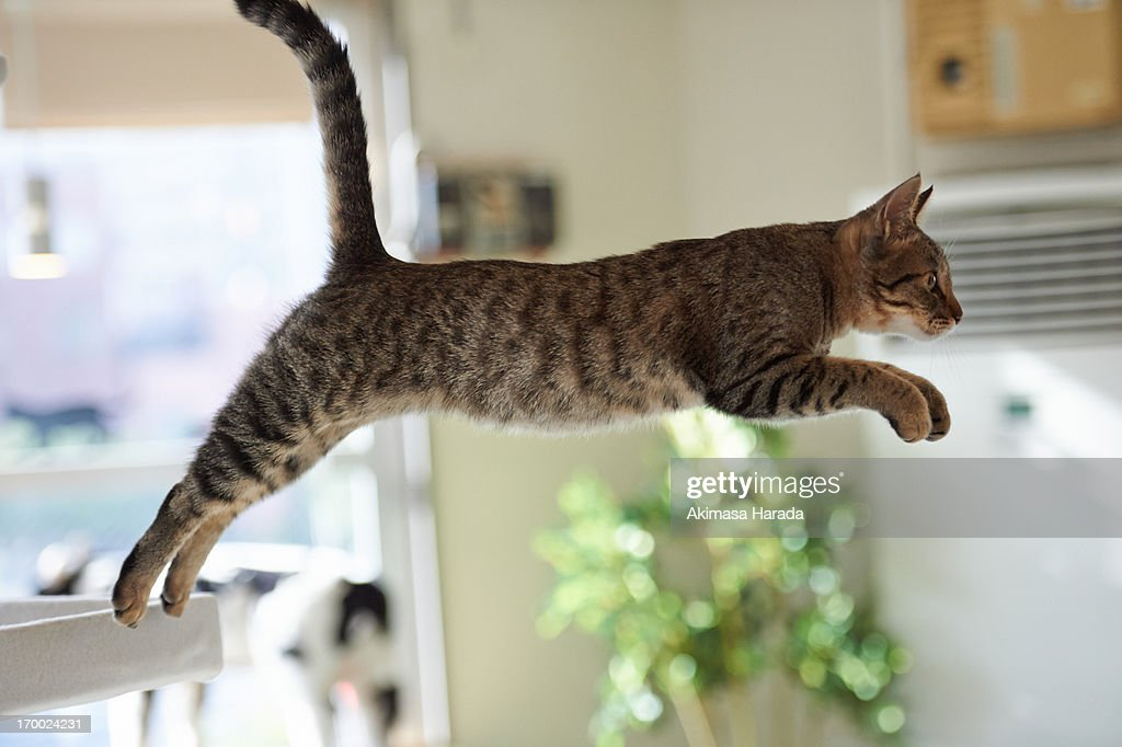 Cat jumping in the room : Stock Photo