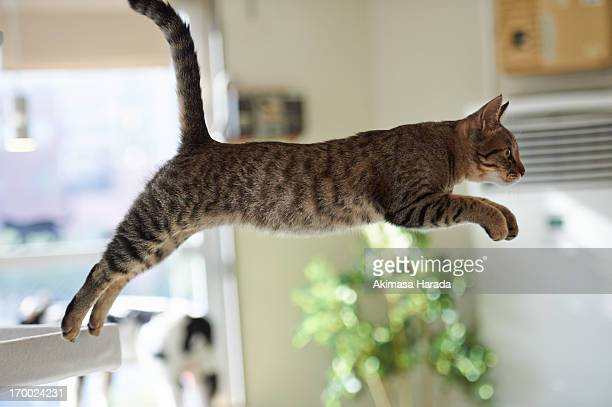 Cat jumping in the room