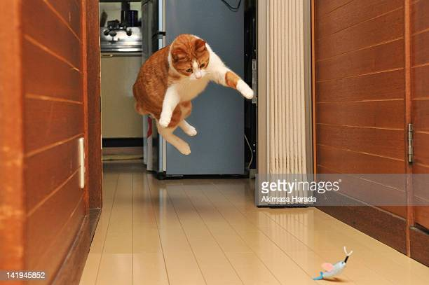 Cat jumping on toy