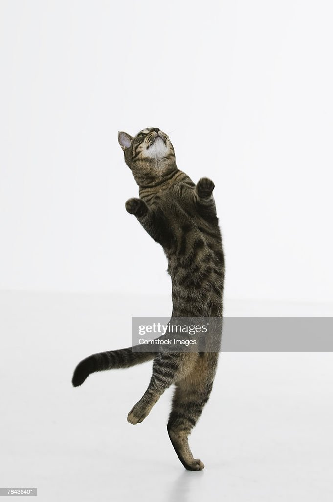 Cat jumping : Stockfoto