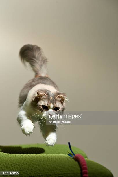 cat jumping toward a toy.