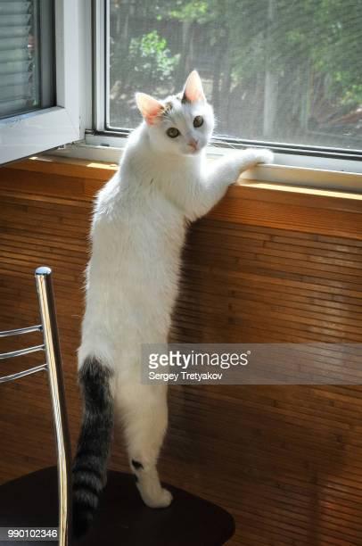 Cat Kosya. 11 months old