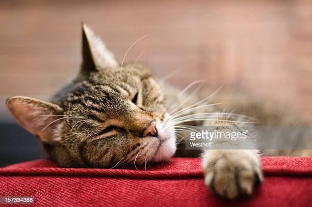Cat laying on red cushion with eyes closed