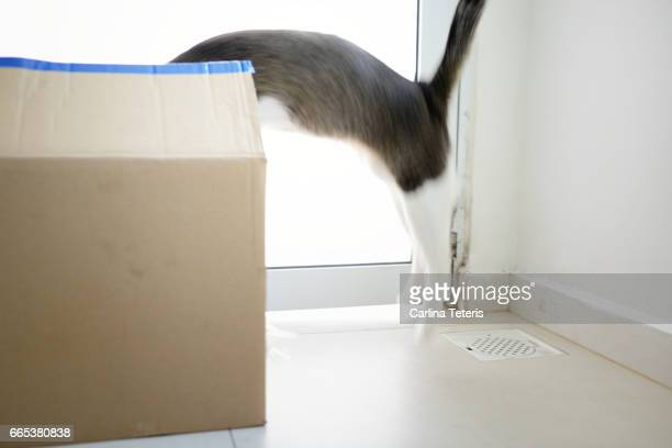Cat leaping into a cardboard box