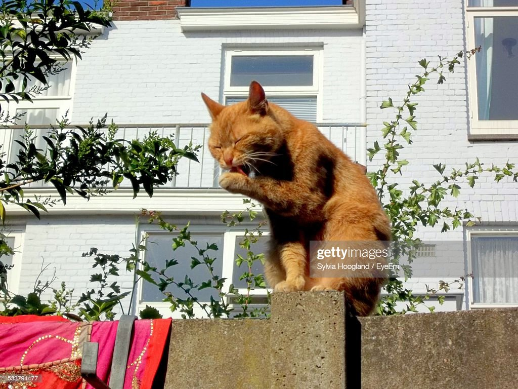Cat Licking Its Paw On Wall : Foto stock