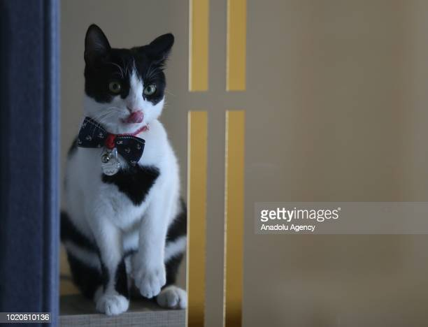 Cat licks its nose in a room at a Cat Pet Hotel in Bursa, Turkey on August 21, 2018. Hotel has total of 32 separate standard, luxury and suit rooms...