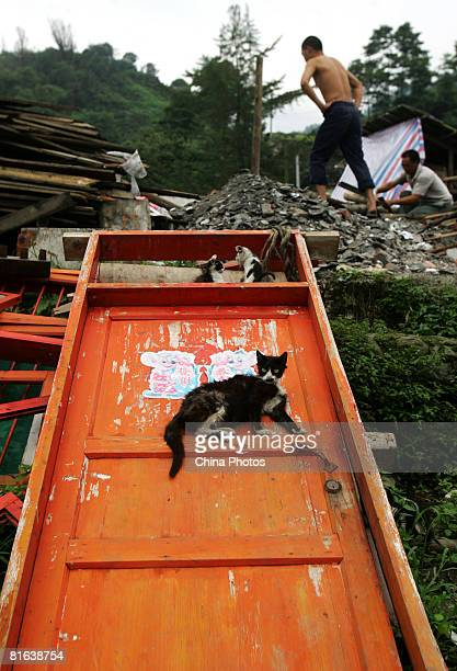 Cat lies on a collapsed door panel at the Yinghua Township following the earthquake on June 19, 2008 in Shifang of Sichuan Province, China. More than...