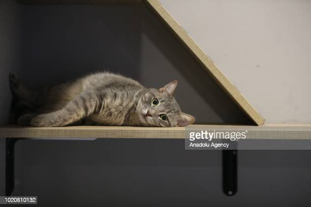 A cat lies on a shelf at a Cat Pet Hotel in Bursa Turkey on August 21 2018 Hotel has total of 32 separate standard luxury and suit rooms for each cat...