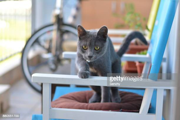 cat life - russian blue cat stock pictures, royalty-free photos & images