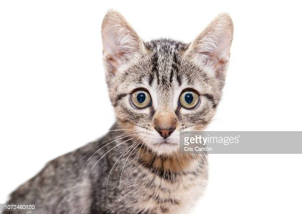 cat looking at camera - cris cantón photography stock pictures, royalty-free photos & images