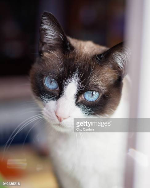 cat looking at camera - siamese cat stock pictures, royalty-free photos & images