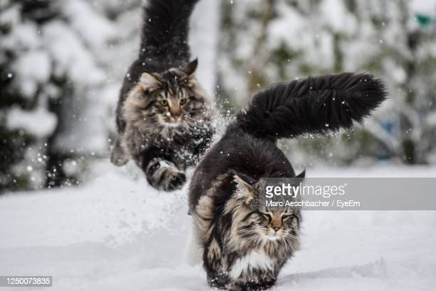 cat looking away on snow during winter - maine coon cat stock pictures, royalty-free photos & images