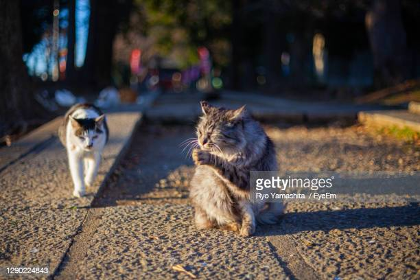 cat looking away on street in city - kawagoe stock pictures, royalty-free photos & images