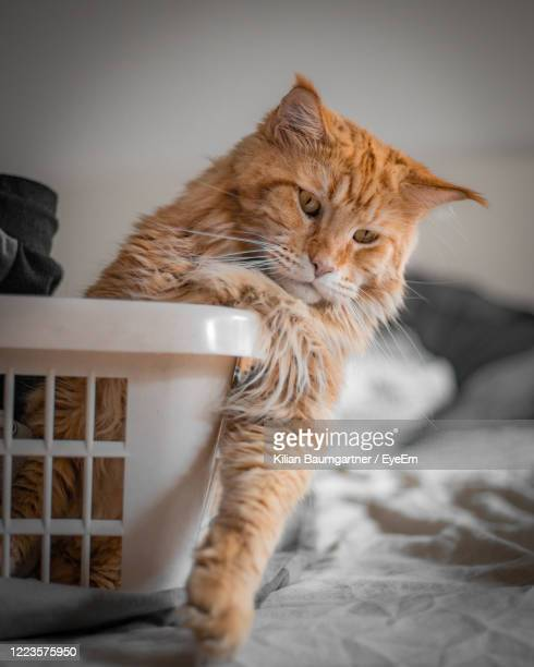 cat looking away while sitting on bed at home - maine coon cat stock pictures, royalty-free photos & images