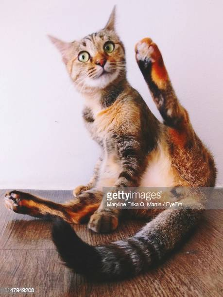cat looking away while sitting on floor at home - legs apart stock pictures, royalty-free photos & images