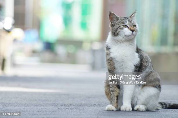 cat looking away while sitting on road in city - 飼い猫 ストックフォトと画像