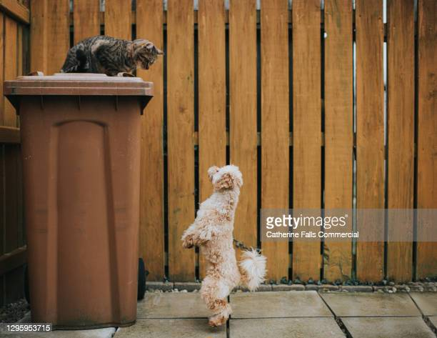 cat looking down from it's hiding place on top of a brown bin while small poodle looks up at it - pets stock pictures, royalty-free photos & images