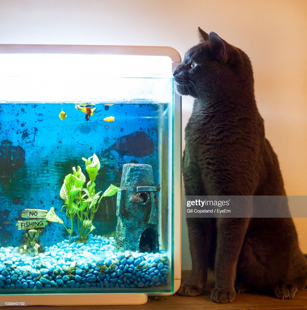 Swell Cat Looking In Fish Tank While Sitting At Home Stock Photo Download Free Architecture Designs Rallybritishbridgeorg