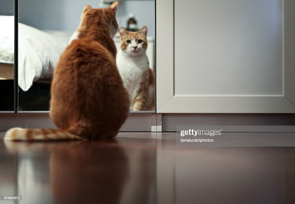 Cat looking in mirror : Stock Photo