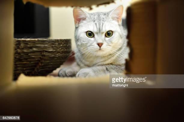 A cat looking through a Cardboard Box