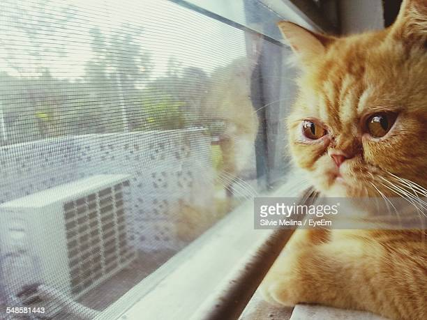 cat looking through window - ugly cat stock photos and pictures