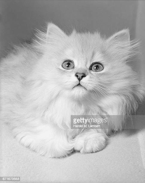 cat looking up - pawed mammal stock pictures, royalty-free photos & images