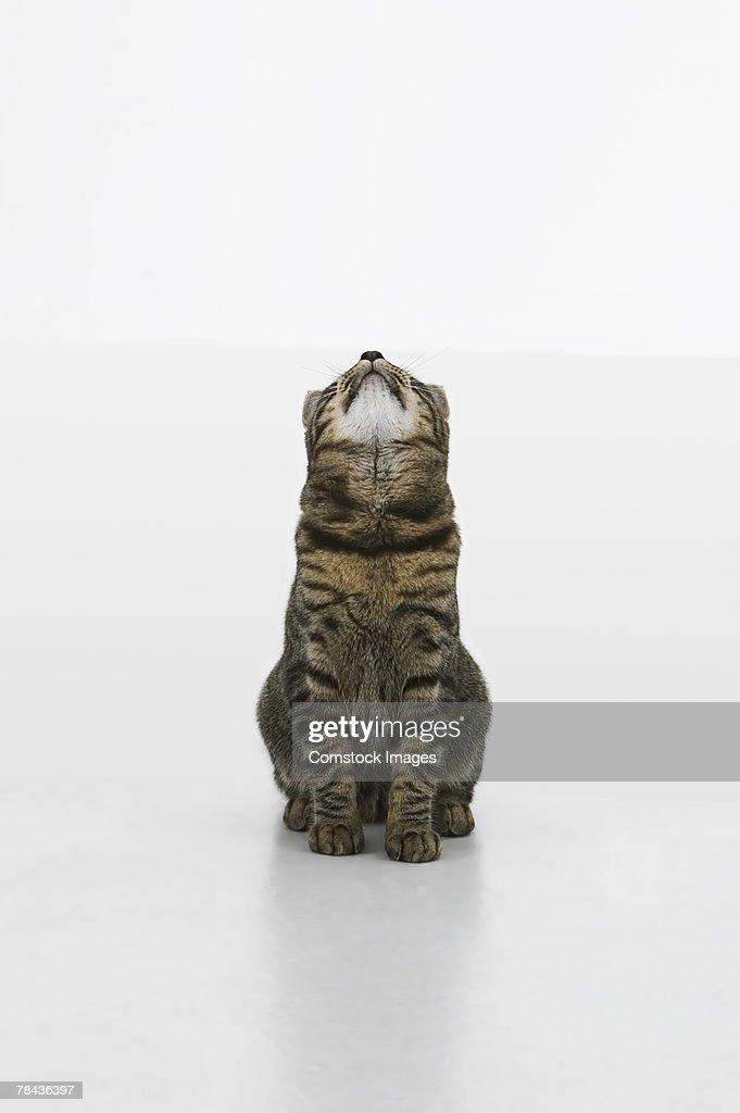 Cat looking up : Stockfoto