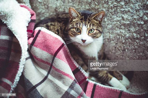 cat looking up the camera and covered with a blanket
