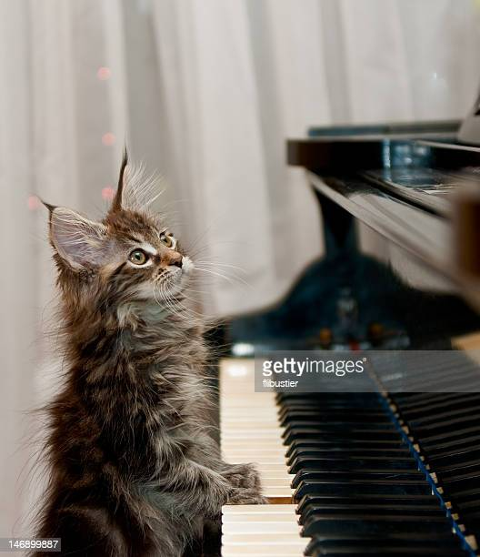 maine coon kitten little pianist