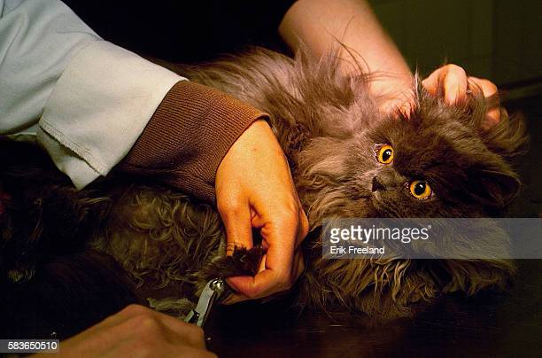 A cat looks fearful as it has its claws trimmed at the Animal Medical Center in NYC