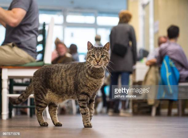 A cat looks into the camera in the first ever Cat Café of Hamburg Germany 27 July 2017 After Nuremberg and Munich the city of Hamburg may now also...